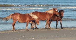 Los caballos salvajes de Carolina del Norte