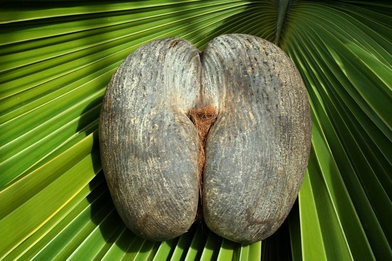 Coco de mer: la nuez más erótica del mundo crece en las Seychelles